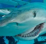 Акула: Пазл